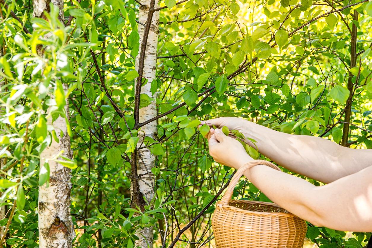 cueillette cueillir fleurs feuilles arbres comestibles