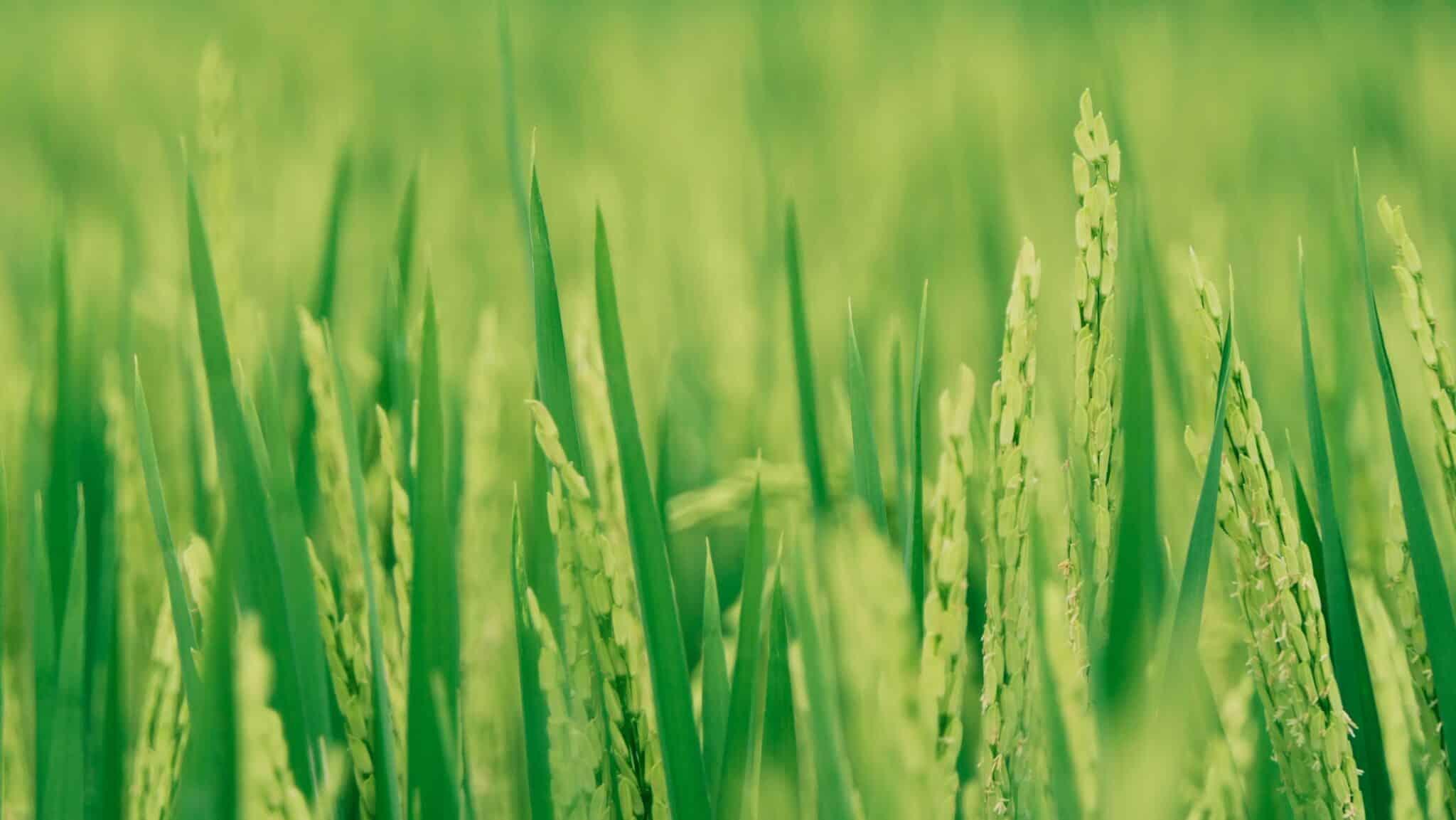 culture du riz plante Asie rizière
