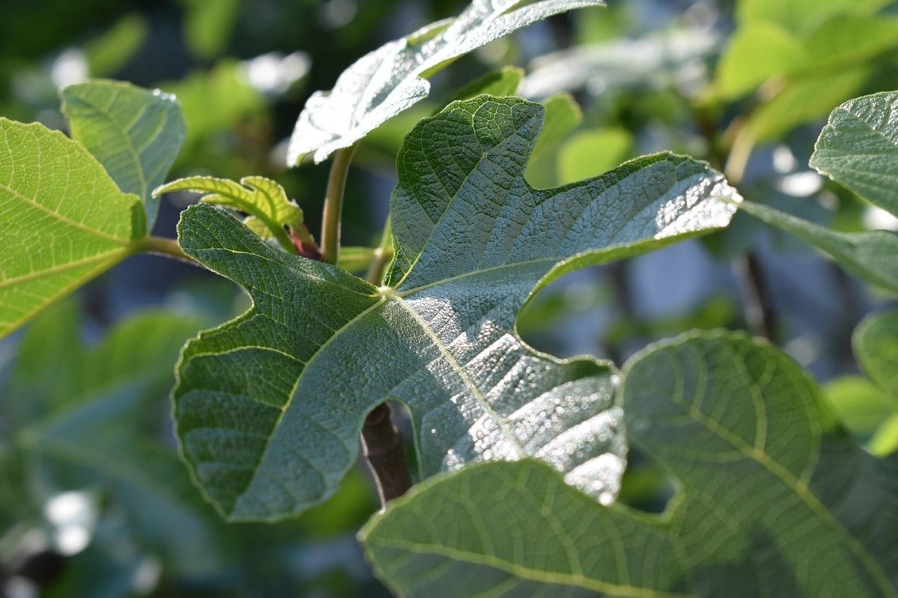 figuier feuilles chips recette arbres