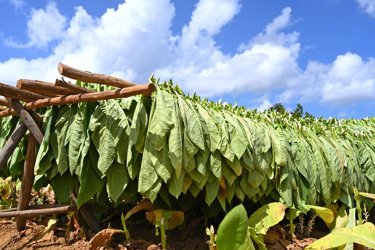 plantation de tabac feuilles séchage cigarette cuba cigares