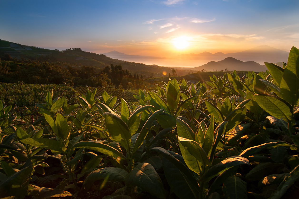 champs de tabac feuilles culture plantations