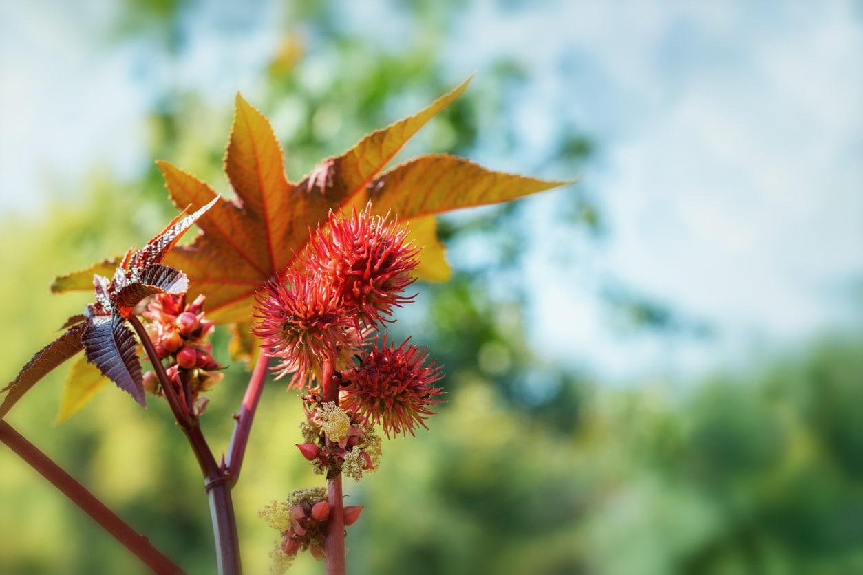 ricin plante arbre dangers toxique feuilles précautions poison